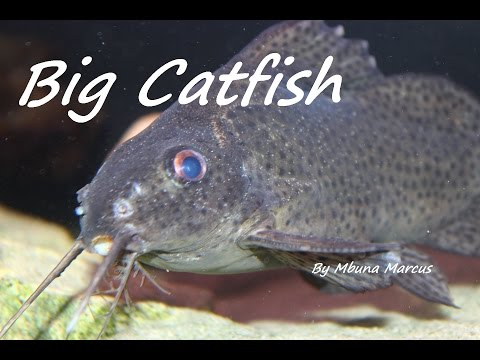 BIG CATFISH (Featherfin Squeaker) from YouTube · High Definition · Duration:  2 minutes 5 seconds  · 8,000+ views · uploaded on 3/31/2015 · uploaded by Mbuna Marcus - Aquariums, Cichlids and More