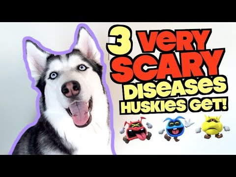 3-scary-diseases-that-siberian-huskies-commonly-get!