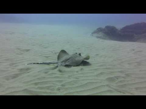 Bluespotted stingray pair Mozambique
