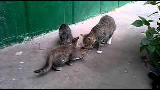 Котята едят манную кашу