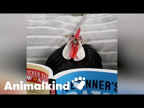 Footless rooster finds forever home | Animalkind