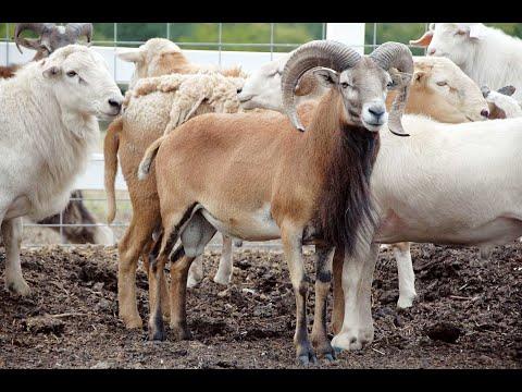 How your Goat Farm Turns to a Successful Business ....Singapura Shaila shree