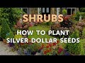 How to Plant Silver Dollar Seeds