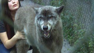 meet-a-game-of-thrones-direwolf-look-alike