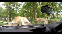 MONKEYS ATTACK THE CAR  - Woburn abbey safari park VLOG