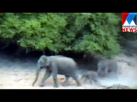 Wild Elephant attack increased in Marayur| Manorama News ...