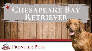 Chesapeake Bay Retriever Breed Facts