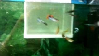 Уход за рыбками гуппи