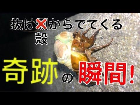 セミ�幼虫�ら�虫��る奇跡�瞬間!!