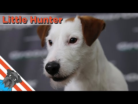 Trimming and striping Jack Russell Terrier
