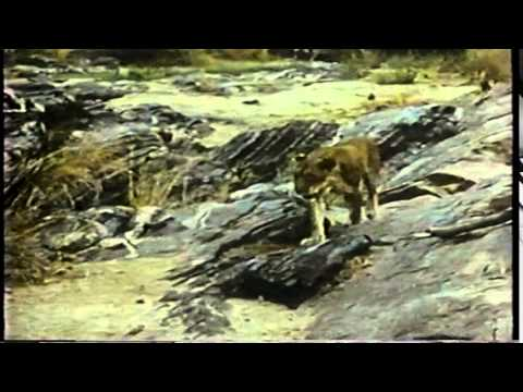 George Adamson on Elsa of Born Free with video clips of Elsa