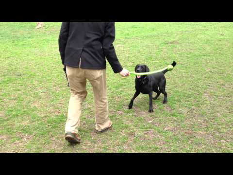 Black Lab Playing Fetch