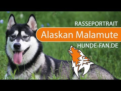 Alaskan Malamute [2018] Rasse, Aussehen & Charakter
