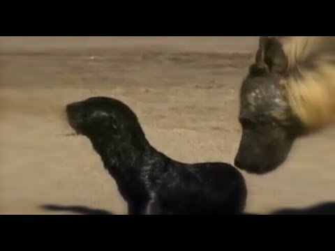 Brown Hyena and Jackals hunt Cape Fur Seal