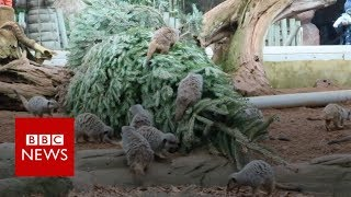 Animal magic in recycled Christmas trees - BBC News