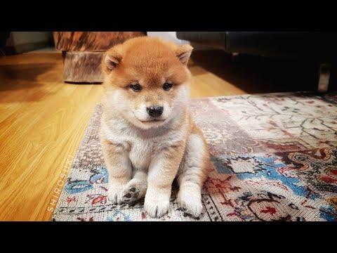 Mischievous potats / Shiba Inu puppies (with captions)