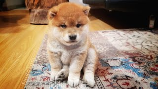 Mischievous potats / Shiba Inu puppies (with captions)