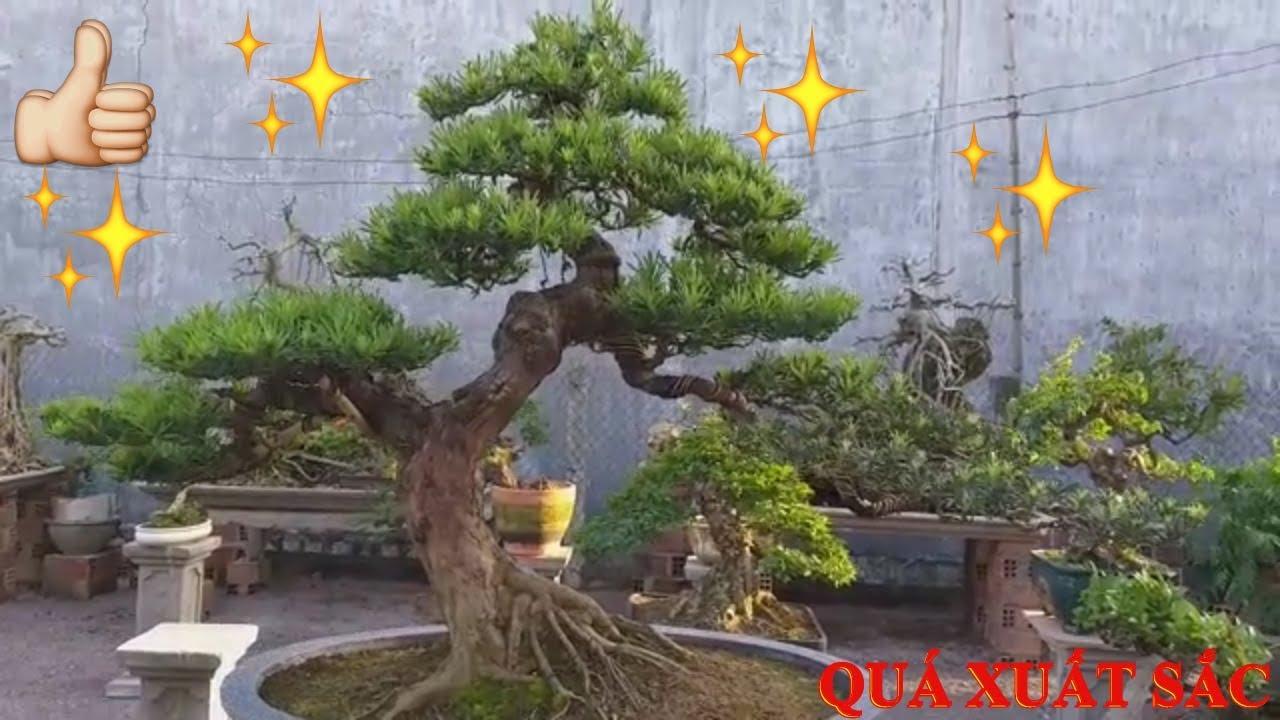 Cây tùng la hán đẹp nhất TT Tuy Phước _ Bình Định