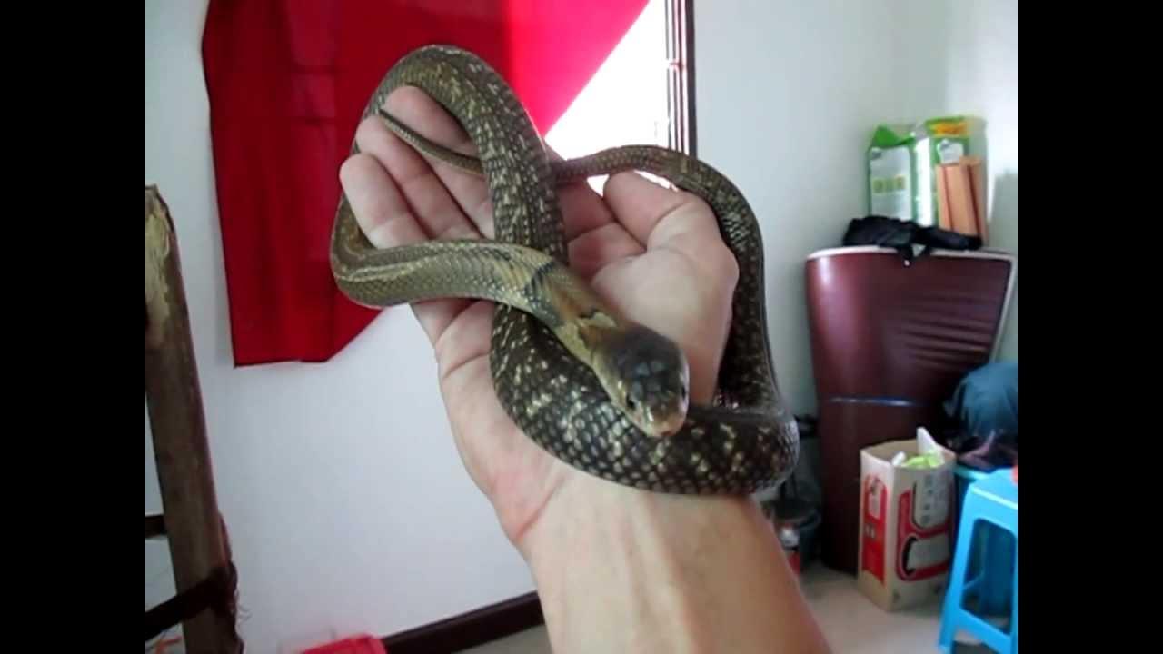 Monocled Cobra ~ Naja Kaouthia - YouTubeNaja Kaouthia Suphanensis
