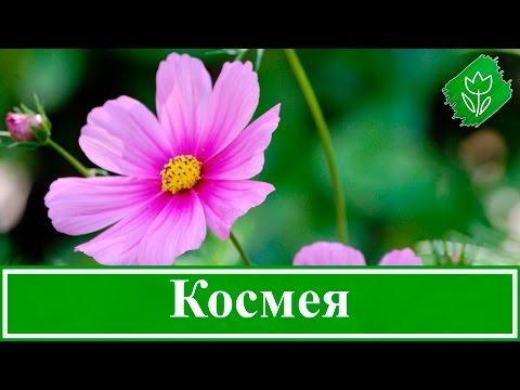 Цветы космея – выращивание из семян, посадка и уход за космеей; когда сажать семена космеи