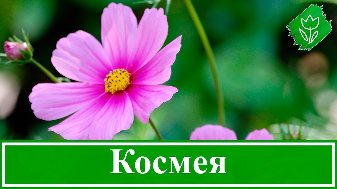 Космея цветы описание и 63