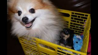The Pom Is Nursing The Chihuahua Puppy...they Are Both Boys... I Am Concerned
