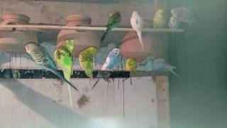 HOW TO START SUCCESSFUL BUSINESS OF BUDGIES/AUSTRALIAN PARROTS (PART 2) IN URDU