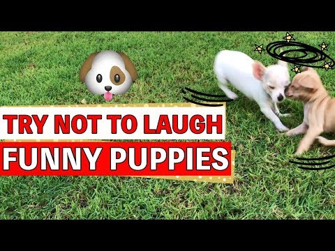 Try Not To Laugh | Funny Puppies Video - KIMYOKITTEN