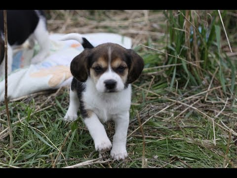 Fun and Silly Beagle mom Penny with her 5 week pups