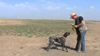 Positive Gun Dog Training - Delivery To Hand