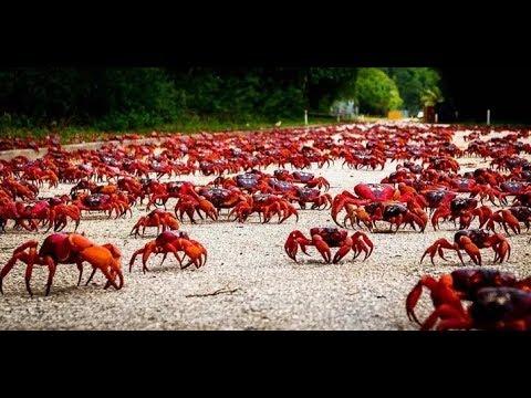 Christmas Island Crab Migration Documentary
