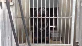 Rottweiler Oc Animal Care Urgent!! Need Puller Has Home!!!