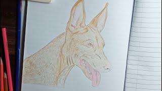Pharaoh Hound Drawing  Timelapse    Dog realistic drawing