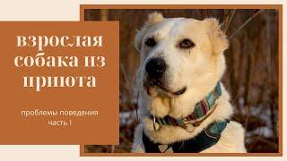Взрослая собака из приюта | Часть 1 – Проблемы