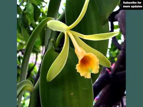 Vanilla Orchid | Identify Breed By Picture - Flower Vanilla Orchid