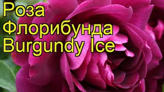 Роза флорибунда Бургунди Айс. Краткий обзор, описание характеристик, где купить саженцы Burgundy Ice