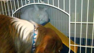 Dog Helping Train A Lionhead Bunny Rabbit