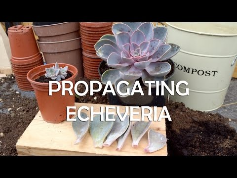 How to Propagate Echeveria - Super Easy Succulent Propagation