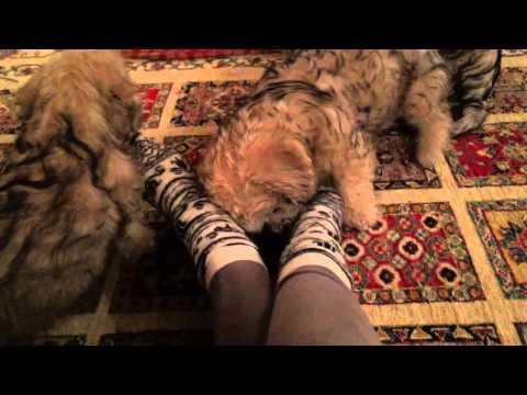 Dandie Dinmont Terrier pups