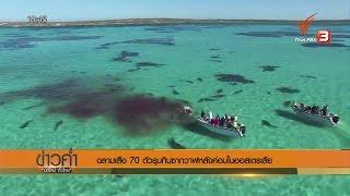 ฉลามเสือ 70 ตัวรุมกินซากวาฬหลังค่อมในออสเตรเลีย