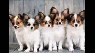 Funniest Papillon Dog Breed Videos Compilation l Funny Dog Cute Papillon Puppies l PetLand