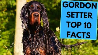 Gordon Setter  TOP 10 Interesting Facts