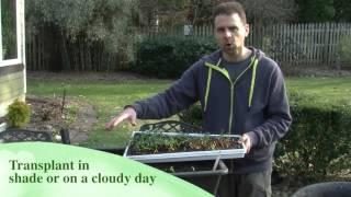 Transplanting Beets