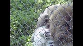 White Lions Have Sex Parc Safari Canada 2013