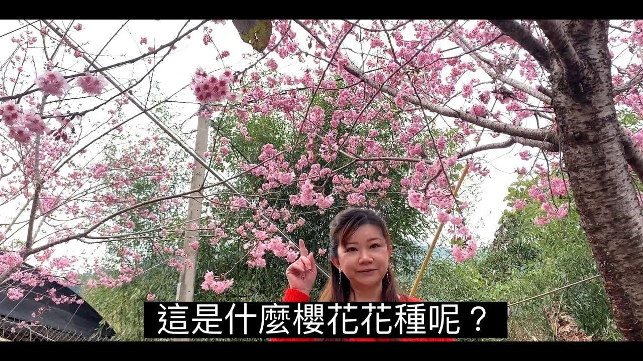 春暖花開賞櫻正是此時