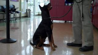 Adopt A Doberman Pinscher Mix