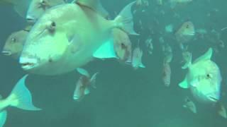 Triggerfish Swimming Underwater   SPORT FISHING