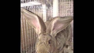 самые крупные кролики в Армении ,Гюмри (тел.094259324)