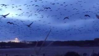 goose hunting manitoba, duck hunting manitoba, goose hunting, duck hunting, snow goose hunting