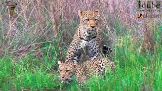WILDlife: Leopard Lovers Mate